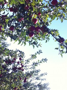 Apples growing at a Midwest orchard