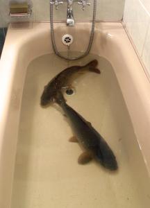 Christmas Carp in a bathtub