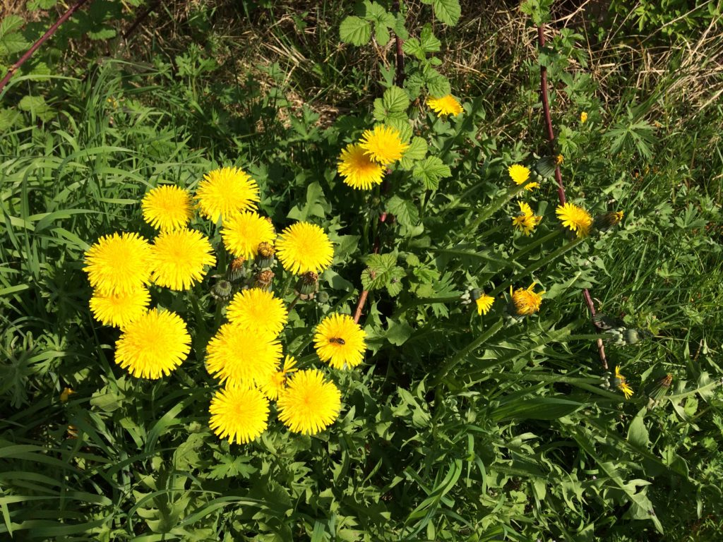 Spring foraging for dandelions