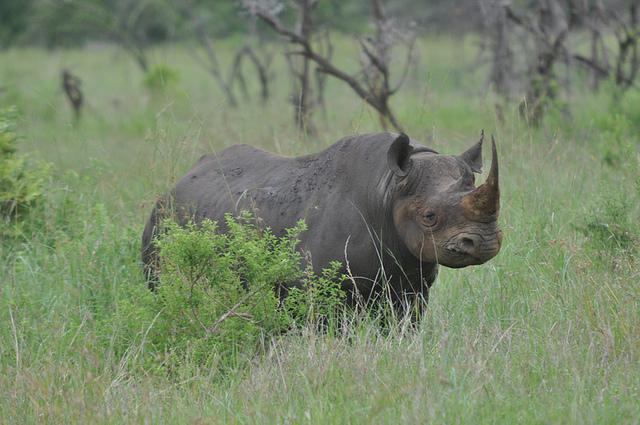 Eswatini black rhino