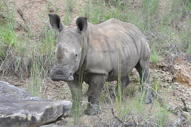 Eswatini white rhino
