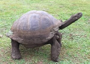 adult giant tortoise