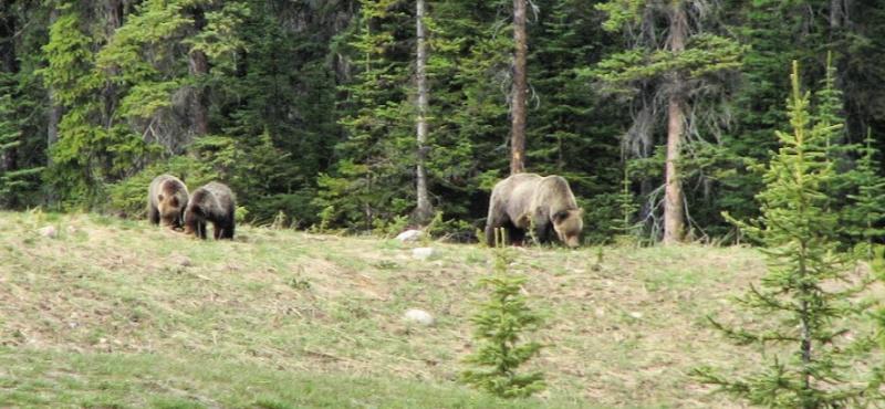 Bears near Banff, Alberta